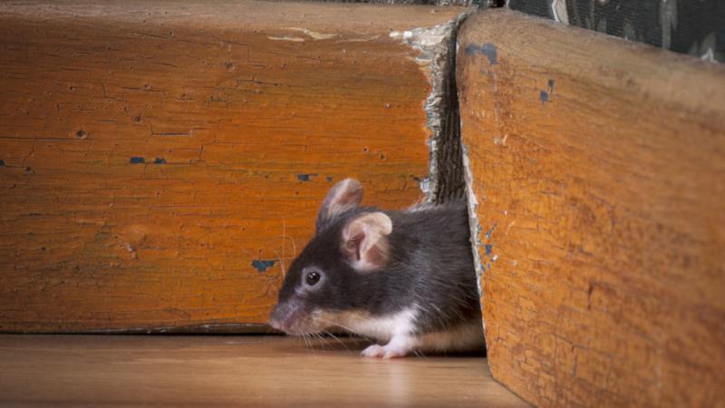 ابادة فئران بدبي _ مكافحة فئران بدبي
