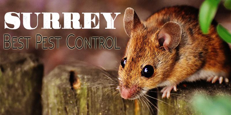 شركات مكافحة الفئران في دبي
